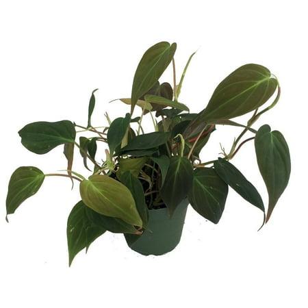 Rare Hirt's® Velvet Leaf Bronze Micans Vine -Philodendron- Easy - 2 Pack/3