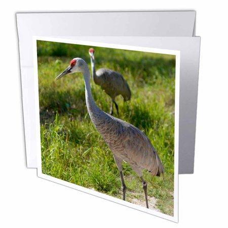 3dRose Sandhill Crane birds Nebraska - US26 GHA0062 - Gayle Harper, Greeting Cards, 6 x 6 inches, set of 6
