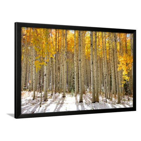 Aspen Trees in the Snow in Early Winter Time Framed Print Wall Art ...