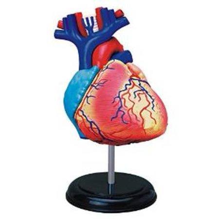 4D Human Heart Anatomy Model
