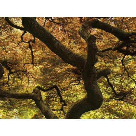 Pattern in Branches and Leaves of Japanese Threadleaf Maple Tree, Acer Palmatum Dissectum Print Wall Art By Adam (Acer Palmatum Dissectum Crimson Queen Japanese Maple)
