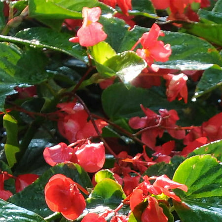 Angelwing Begonia Dragon Wing Red Plant Seeds (Pelleted) - 100 Seeds - Decorative Plant, Houseplant