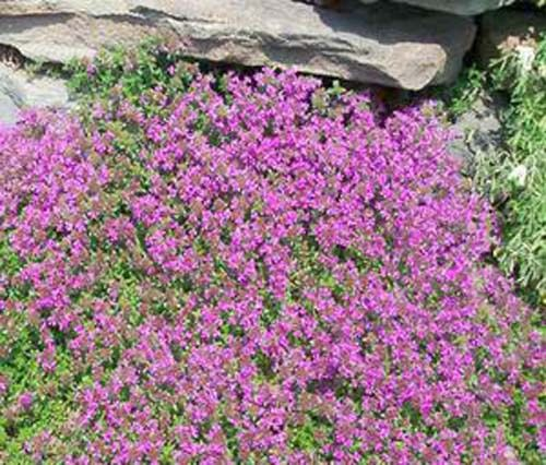 Thyme Creeping Thyme Great Garden Herb 500 Seeds ()