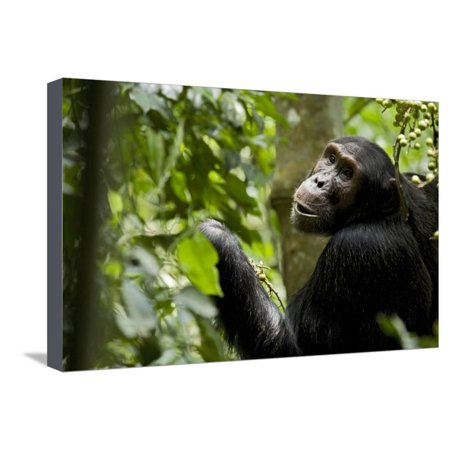 Africa, Uganda, Kibale National Park. Young adult male chimpanzee eating figs. Stretched Canvas Print Wall Art By Kristin Mosher - Man Eating Plant