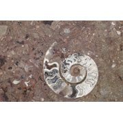 Morocco, Erfoud. Details of ammonites, and other fossils exposed on a cut slab of stone. Print Wall Art By Brenda Tharp