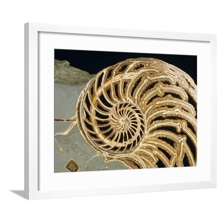 Fossilized Shell of Nautilus Striatus Framed Print Wall Art By Sinclair Stammers