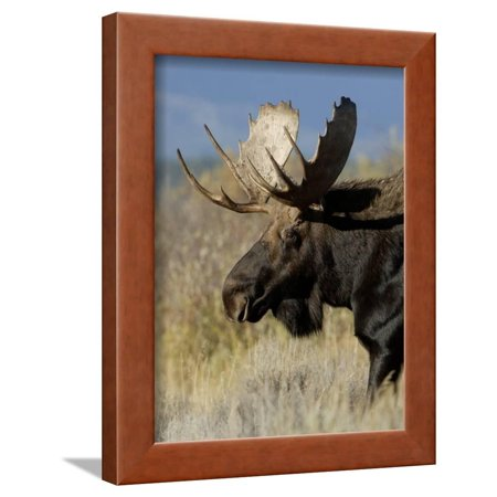 Moose (Alces Alces) Bull, Grand Teton National Park, Wyoming, USA Framed Print Wall Art By Rolf Nussbaumer (Grand Teton National Park Framed)