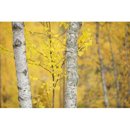 Birch Trees (Betula Verrucosa or Pubescens) Oulanka, Finland, September 2008 Print Wall Art By Widstrand ()