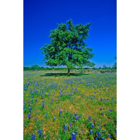 Bluebonnets in bloom with tree on hill Spring Willow City Loop Road TX Poster Print by Panoramic Images - Halloween Store Spring Tx