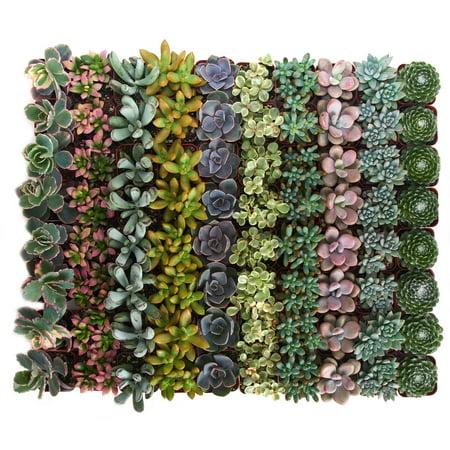 Home Botanicals Premium Pastel Succulent (Collection of