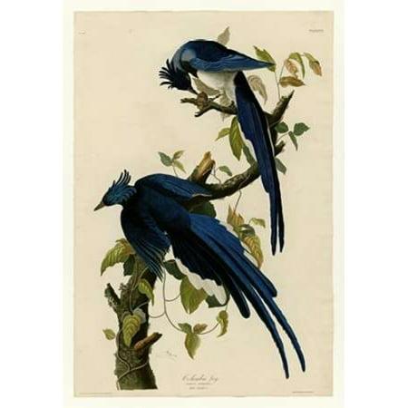 Columbia Jay Poster Print By  John James Audubon