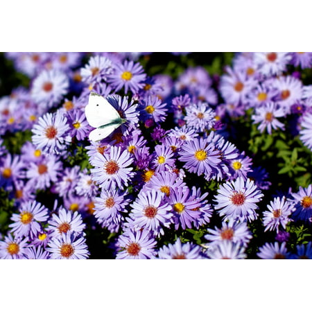 Laminated Poster Butterfly Blossom Purple Bloom Flowers Insect Poster Print 24 x 36