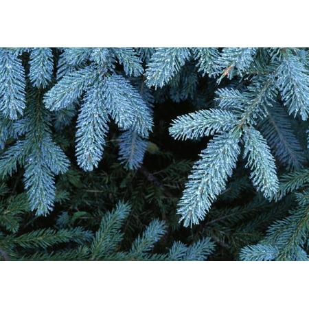 Frozen Pine Needles PosterPrint
