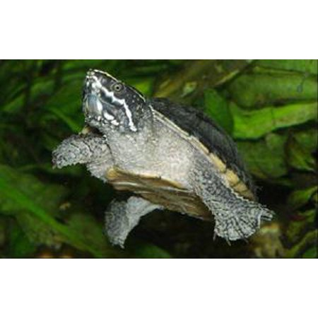 North American Box Turtles - Captive Care of North American Water Turtles - eBook