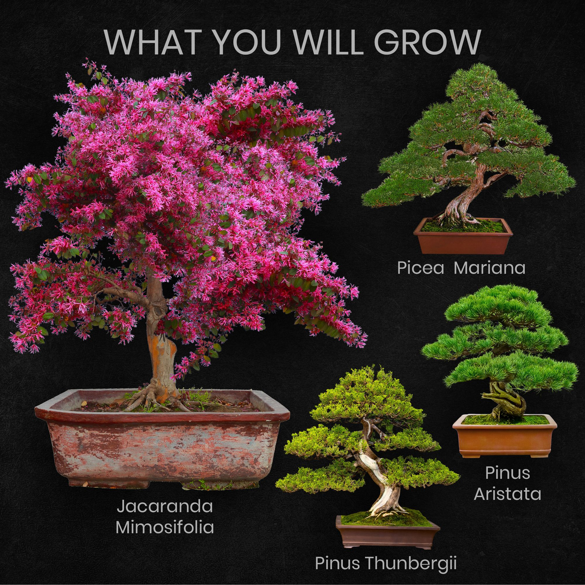 Nature S Blossom Bonsai Tree Grow Kit 4 Bonsai Trees To Grow From Seed Walmart Com Walmart Com