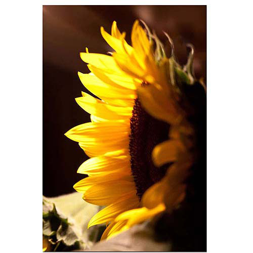 "Trademark Art ""Sunflower II"" Canvas Art by Martha Guerra, 16x24"