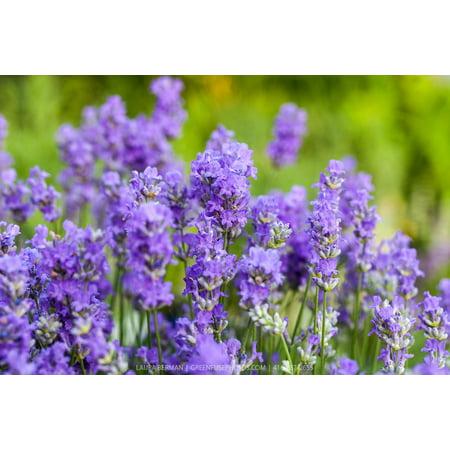 Blue Cushion French Lavender - Very Fragrant/Compact - Quart Pot - (Best Smelling Lavender Plant)