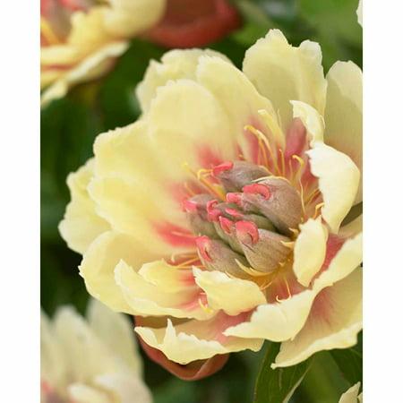 Bloomsz Peony Border Charm Flower Bulbs/Roots, 1 pk