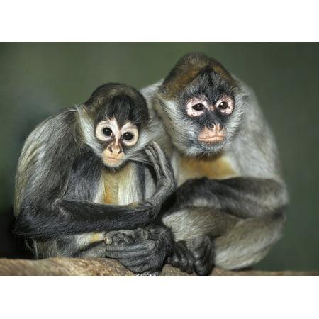 Squirrel Monkeys Calgary Zoo Calgary Alberta Canada Canvas Art - Darwin Wiggett  Design Pics (16 x 12) ()