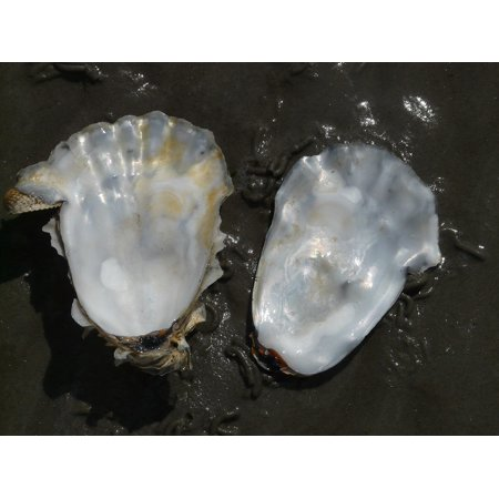 Canvas Print Shell Oyster Valuable Mother of Pearl Gloss Stretched Canvas 10 x 14 - Oyster Shell Pearl