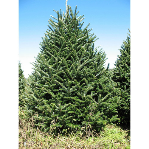 Real Christmas Trees Delivered 7.5' - 8' Green Fir Freshly Cut Christmas Tree