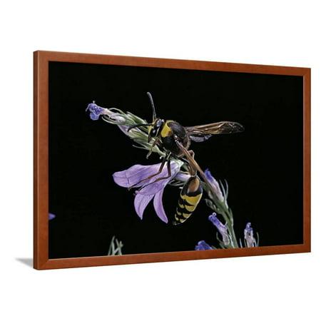 Delta Unguiculatum (Mud Dauber Wasp) Framed Print Wall Art By Paul Starosta Wasp Print Server