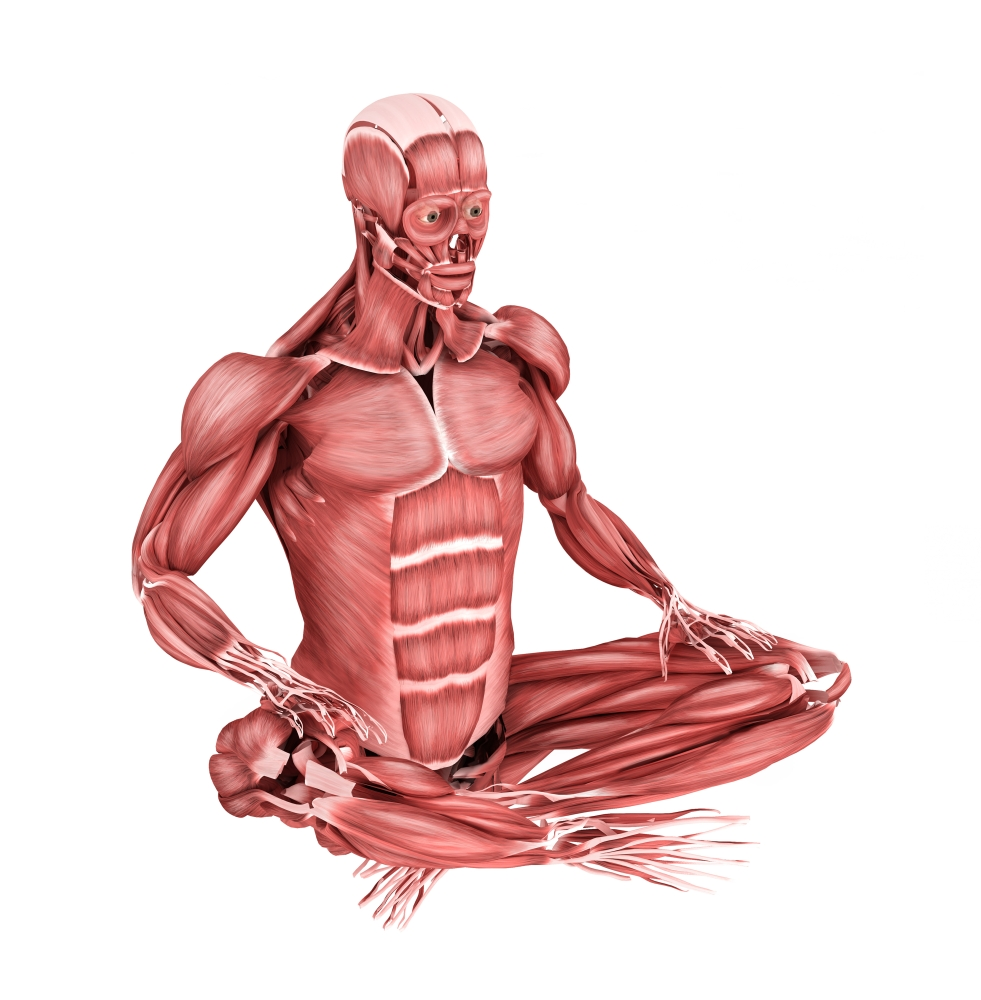 Medical illustration of male muscles in a sitting position perspective view Poster Print