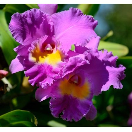Cattleya Orchid Starter Plant 3 Plants No Bloom (Mini Cattleya Orchid)