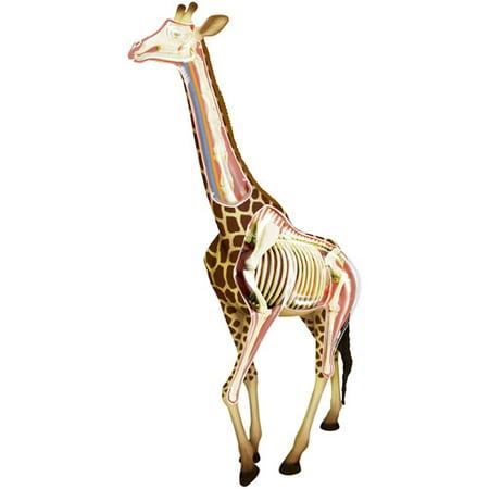 Giraffe Anatomy Model - Anatomy Games