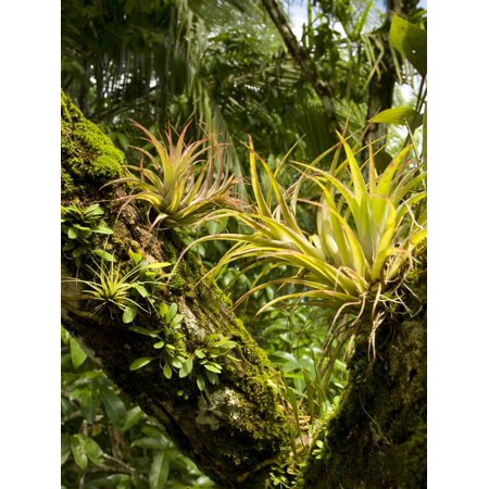 Bromeliads and Other Epiphytes on a Rainforest Tree Trunk, Osa Peninsula, Costa Rica Print Wall Art By Gregory Basco