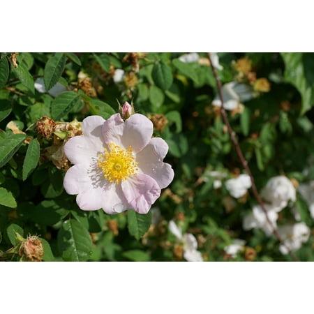 Framed Art for Your Wall Bloom Bush Blossom Nature Rose Hip Wild Rose Rose 10x13 (Osiria Rose Bush For Sale In Usa)