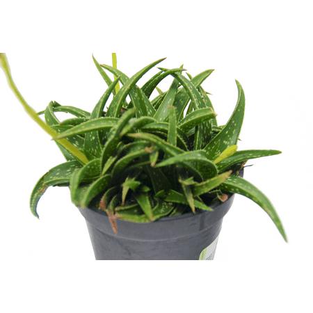 PREMIUM Aloe 'Firebird'/3.5