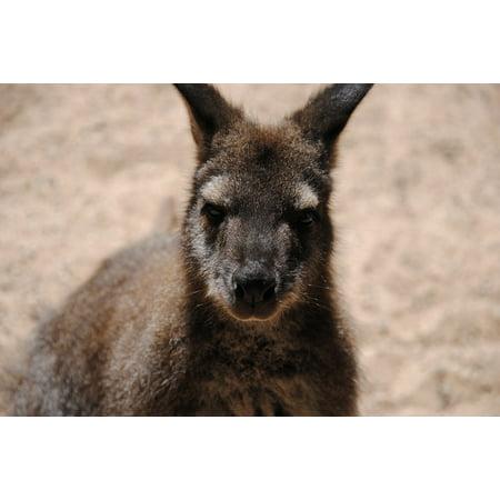 LAMINATED POSTER Outback Desert Australia Wildlife Animal Kangaroo Poster Print 24 x 36