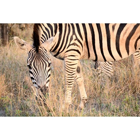 LAMINATED POSTER Nature Patterns Kruger Park South Africa Zebra Poster Print 24 x 36 - Halloween Freddy Krueger Prank
