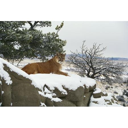 Montana Mountain Lion (Felis Concolor) Resting In Day Bed Winter Snow A52G Canvas Art - John Hyde  Design Pics (18 x (Felis Lynx)