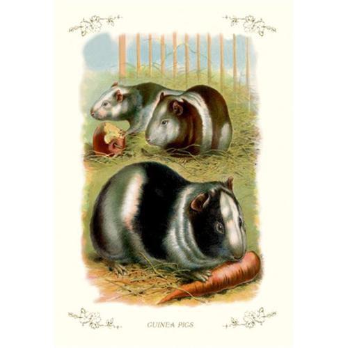 Buy Enlarge 0-587-11208-5P20x30 Guinea Pigs- Paper Size P20x30