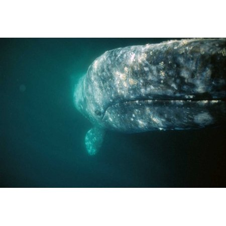 Gray Whale curious adult investigating underside of boat Baja Mexico Poster Print by Tui De Roy