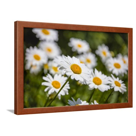 Close-up of White daisy flowers Framed Print Wall Art
