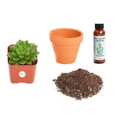 Echeveria Plant - Shop Succulents Echeveria 'Sleepy' 2In Plant Kit