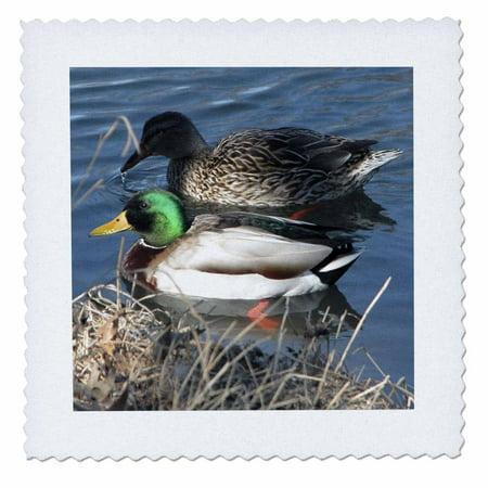 The Mallard Duck (3dRose Mallard Duck Couple - Quilt Square, 10 by 10-inch )