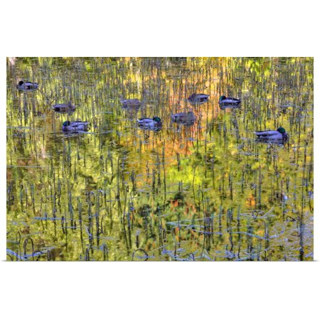 Great BIG Canvas | Rolled Terry Eggers Poster Print entitled Mallard Ducks (Anas platyrhynchos), Victoria, British Columbia, Canada