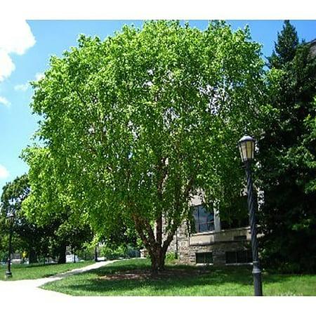 - River Birch Tree Seeds - Betula Nigra Northern - 25 Seeds