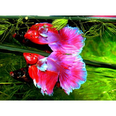 LAMINATED POSTER Siam Fighter Betta Splendens Fish Aquarium Tropical Poster Print 24 x
