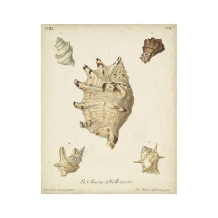 Antique Knorr Shells IV Print Wall Art By Knorr