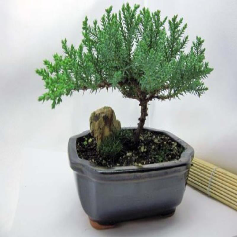 9GreenBox Japanese Juniper Bonsai Tree with Fertilizer by