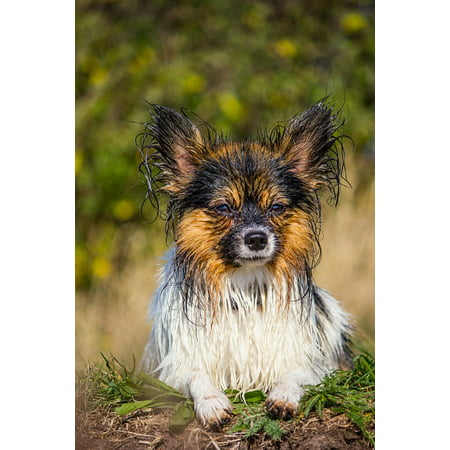Canvas Print Nature Sweet Pet Small Dog Dog Papillon Cute Wet Stretched Canvas 10 x 14