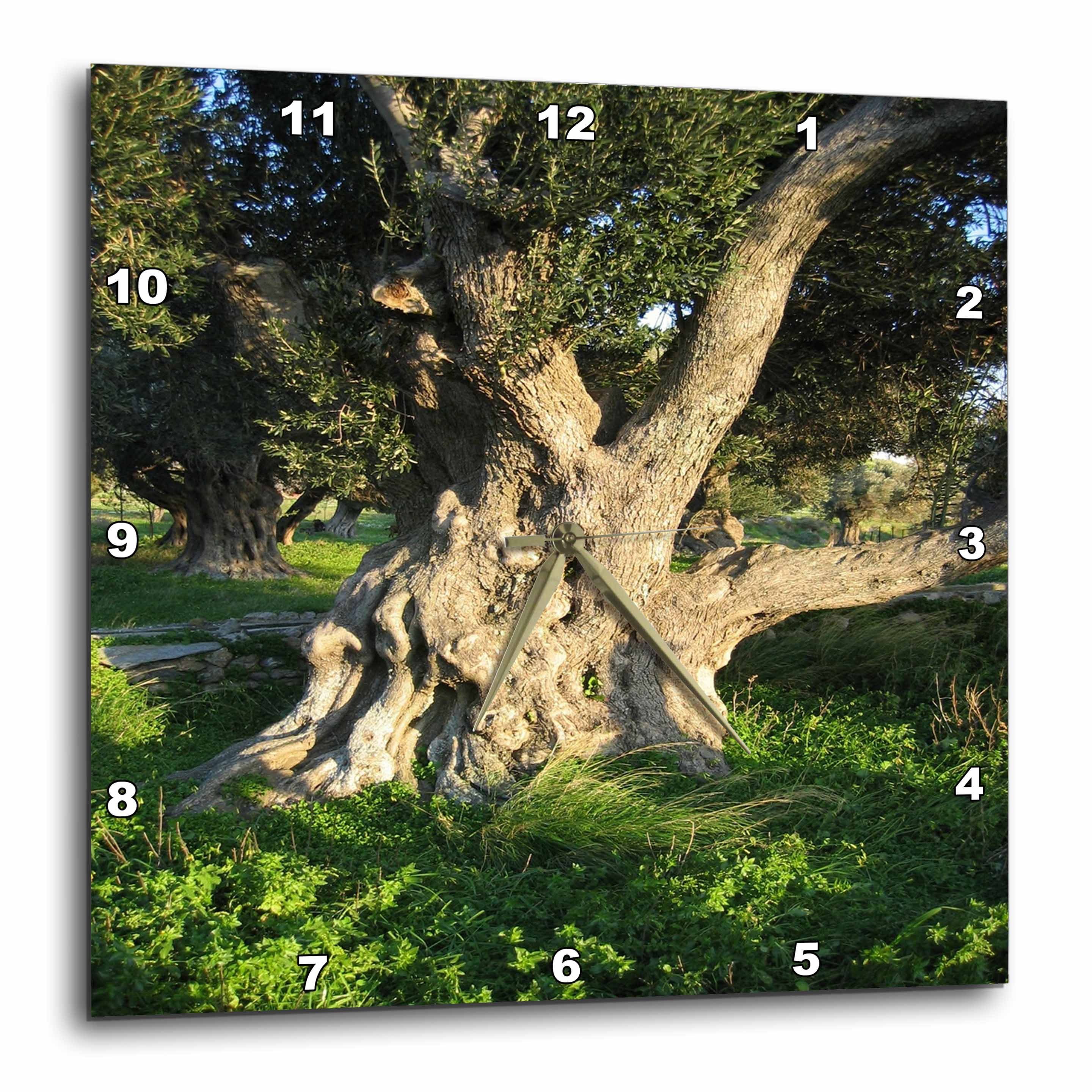 3dRose Old Olive Tree-The olive Olea europaea, a small tree in the family Oleaceae, Wall Clock, 10 by 10-inch