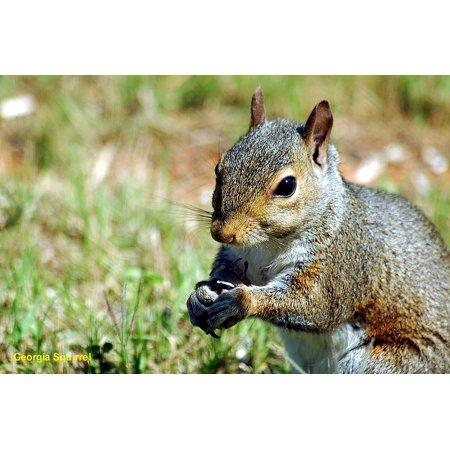 Playful Squirrels - Laminated Poster Wild Wildlife Rodent Squirrel Animal Creature Poster Print 24 x 36
