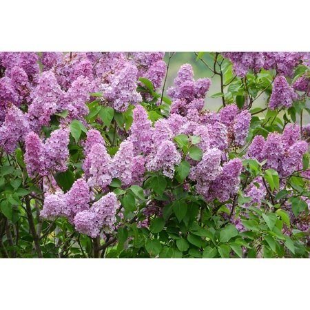 Framed Art For Your Wall Flowers Syringa Purple Flowers Bush Lilac