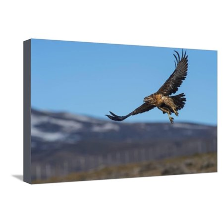 Black Chested Buzzard Eagle (Geranoaetus Melanoleucus), Patagonia, Argentina, South America Stretched Canvas Print Wall Art By Pablo Cersosimo